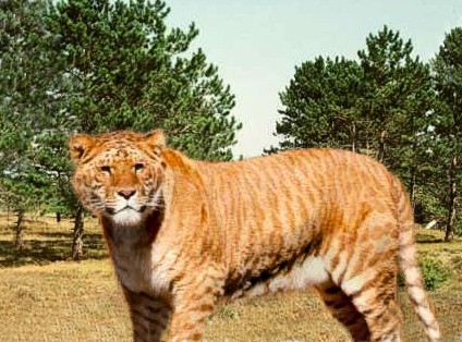 What do you get when you cross a Lion with a Tiger? A liger ... bred for its skills in magic. I remember when I was hip.